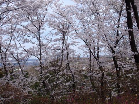 1-240413-64 物見山公園.jpg