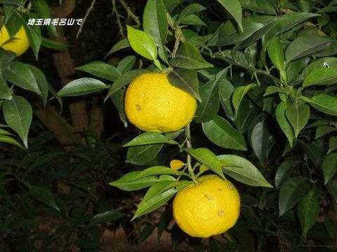 161023-16a 柚子.jpg