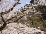 17040926 鎌北湖は桜の名所.jpg