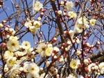 19013008 早咲きの梅.jpg