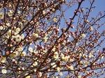 19013009 早咲きの梅.jpg