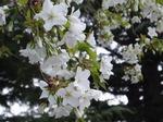 19032756 桜?.jpg