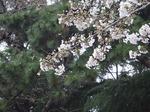 19032758 桜?.jpg