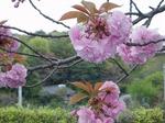 190417139 桜.jpg