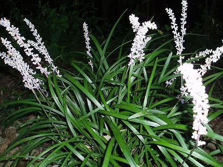 19082103 夏の花.jpg