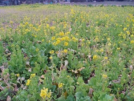20031240 菜の花.jpg