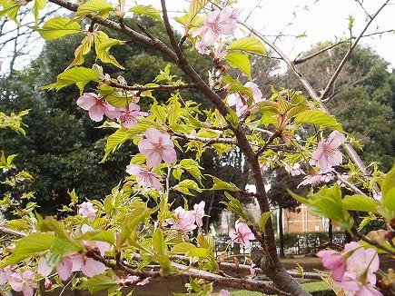 20031760 河津桜.jpg