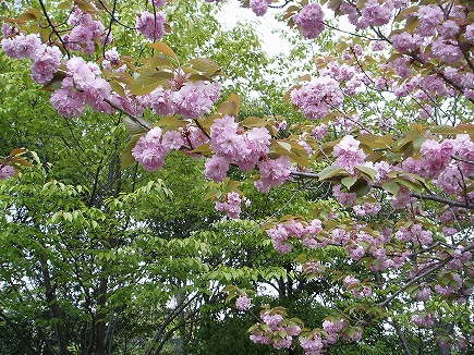 20042513 桜.jpg