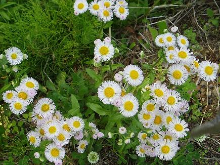 20050622 散歩道の草花.jpg