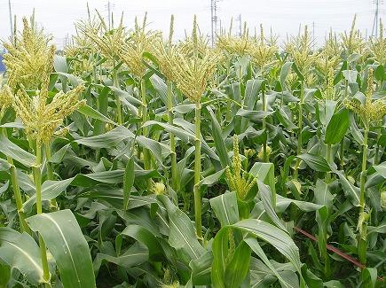 20060238 玉蜀黍.jpg
