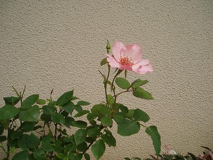 20060458 バラ.jpg