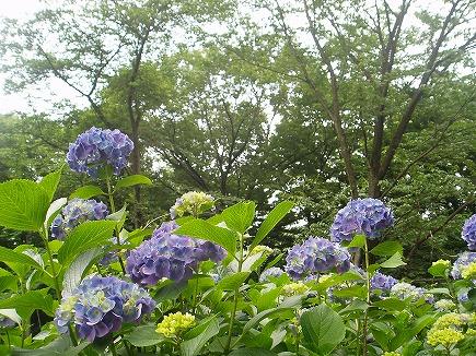 20061716 物見山アジサイ.jpg