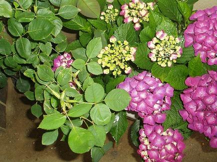 20061949 紫陽花.jpg