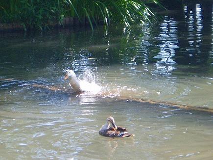20062402 池尻池の鴨.jpg