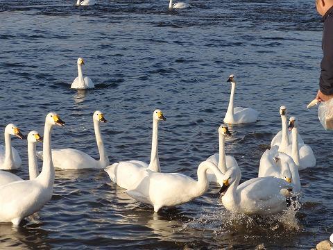 210214-97 深谷白鳥の給餌風景.jpg