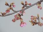210222-27 すみよし桜.jpg