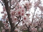210326-88 桜.jpg