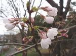 210326-92 桜.jpg