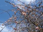 210326-99 桜.jpg