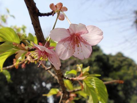 220322-07 河津桜.jpg
