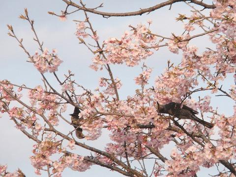 220322-24 安行寒桜.jpg