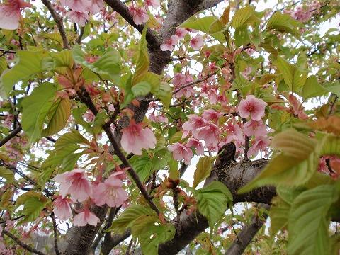 220326-37 すみよし桜.jpg