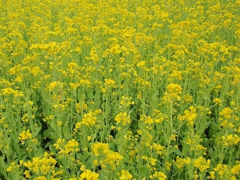 220326-42 菜の花.jpg