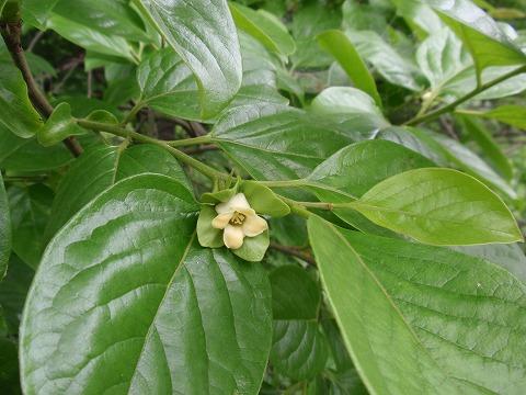220609-70 柿の花.jpg