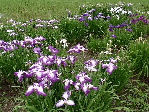 220618-105 たまがわ菖蒲園.jpg