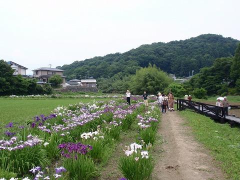 220618-108 ときがわ花菖蒲園.jpg