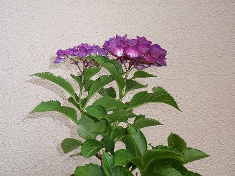 220621-32 紫陽花自宅.jpg