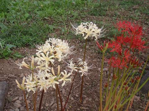 221003-148 曼珠沙華の白花.jpg