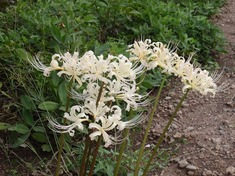 221013-145 2白い彼岸花.jpg