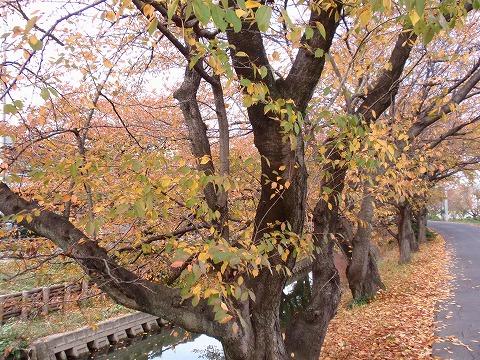 221121-151 新河岸川と桜並木.jpg