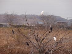 221230-06 川鵜と白鷺.jpg