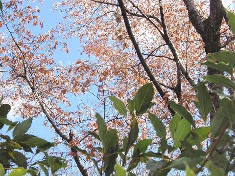 2220329-72 山桜.jpg