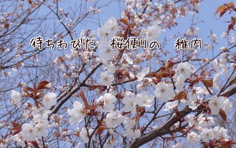 230407-52a 桜.jpg