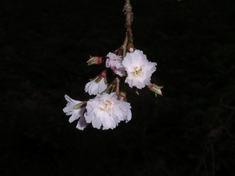 231013-29 10月桜?.jpg