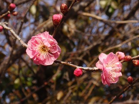240213-35 早咲き梅.jpg