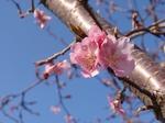 240321-04 すみよし桜.jpg