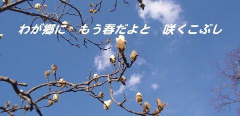 250316-43b こぶし.jpg