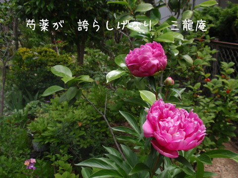 250519-06a 芍薬.jpg