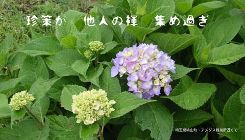 250529-01a 紫陽花.jpg