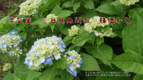 250529-02a 紫陽花.jpg