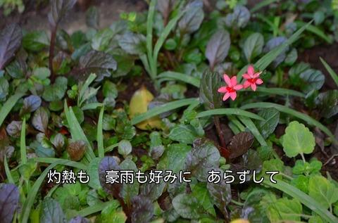 270711-271s 自宅庭.jpg