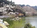 鎌北湖の桜 19040470.jpg