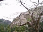 鎌北湖の桜 19040472.jpg