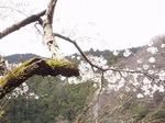鎌北湖の桜 19040473.jpg