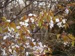 桜 19040588.jpg