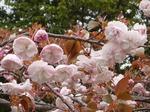 桜 190417133.jpg